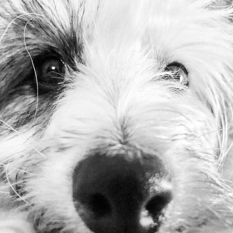Chinese Crested Dog Chinese Crested Powder Puff Pets Dog Domestic Animals One Animal Mammal Animal Themes Animal Hair Close-up Animal Head  Portrait Looking At Camera Animal Nose Indoors  No People Day