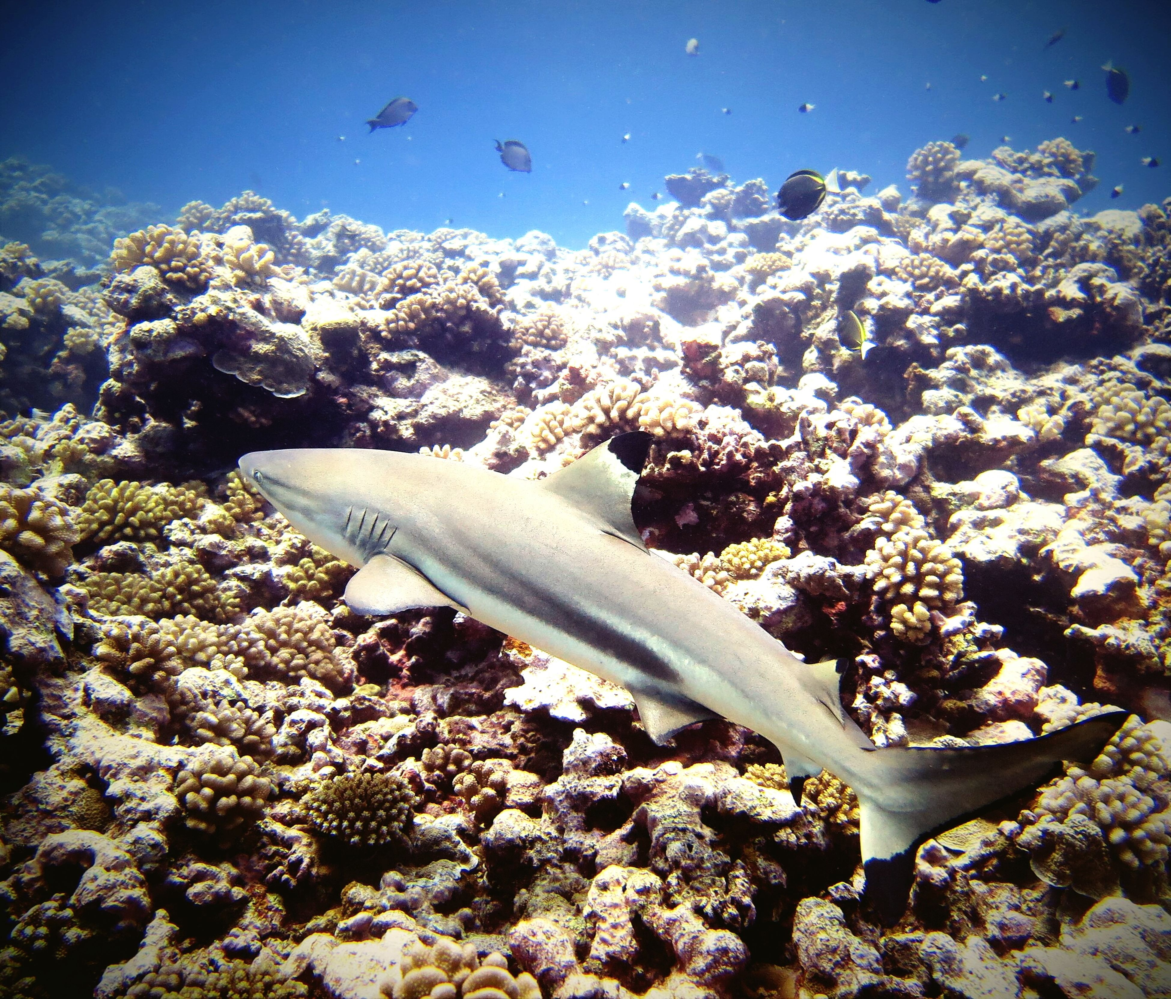 Polynesia Black-tip Shark Underwater UnderSea Animal Themes Animals In The Wild Divingphotography