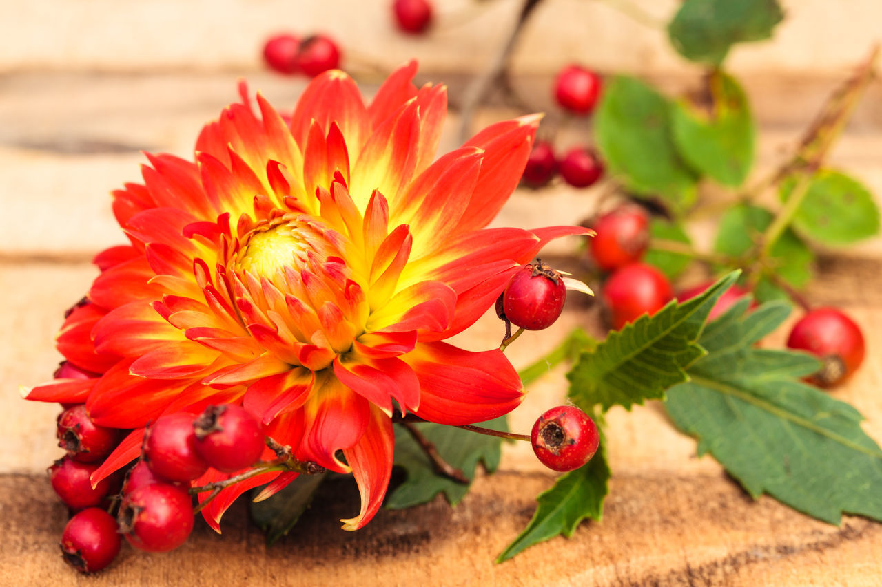 Beauty In Nature Close-up Dahlia Day Floral Arrangement Floral Photography Flower Flower Head Fragility Freshness Growth Nature No People Outdoors Petal Plant Red Rose Hips Sunlight