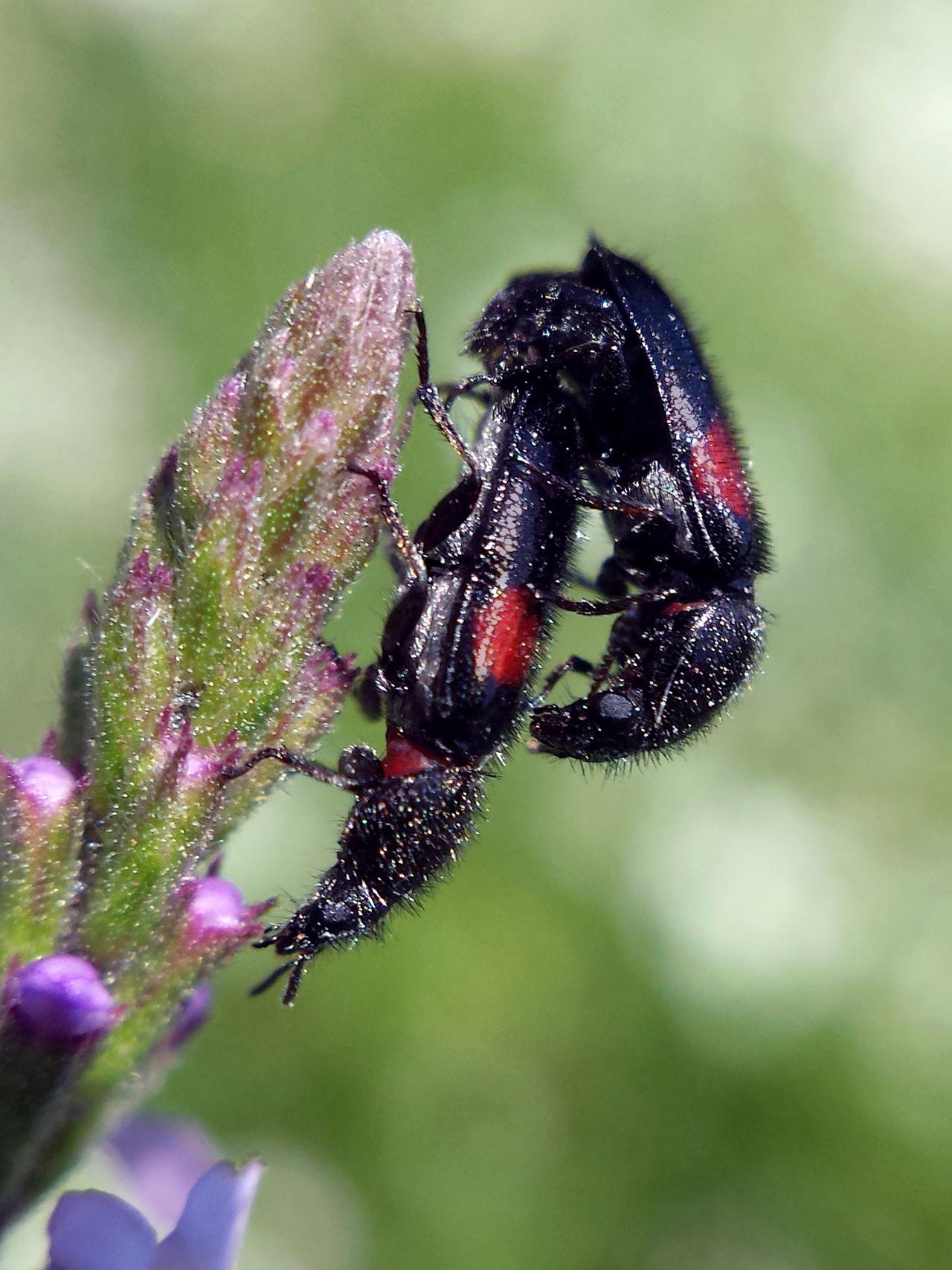 Divales Bipustulatus copulation - Serchio River Arthropoda Beauty In Nature Close-up Copulating Copulation Hexapoda Insect Insecta Macro Nature Outdoors Maximum Closeness