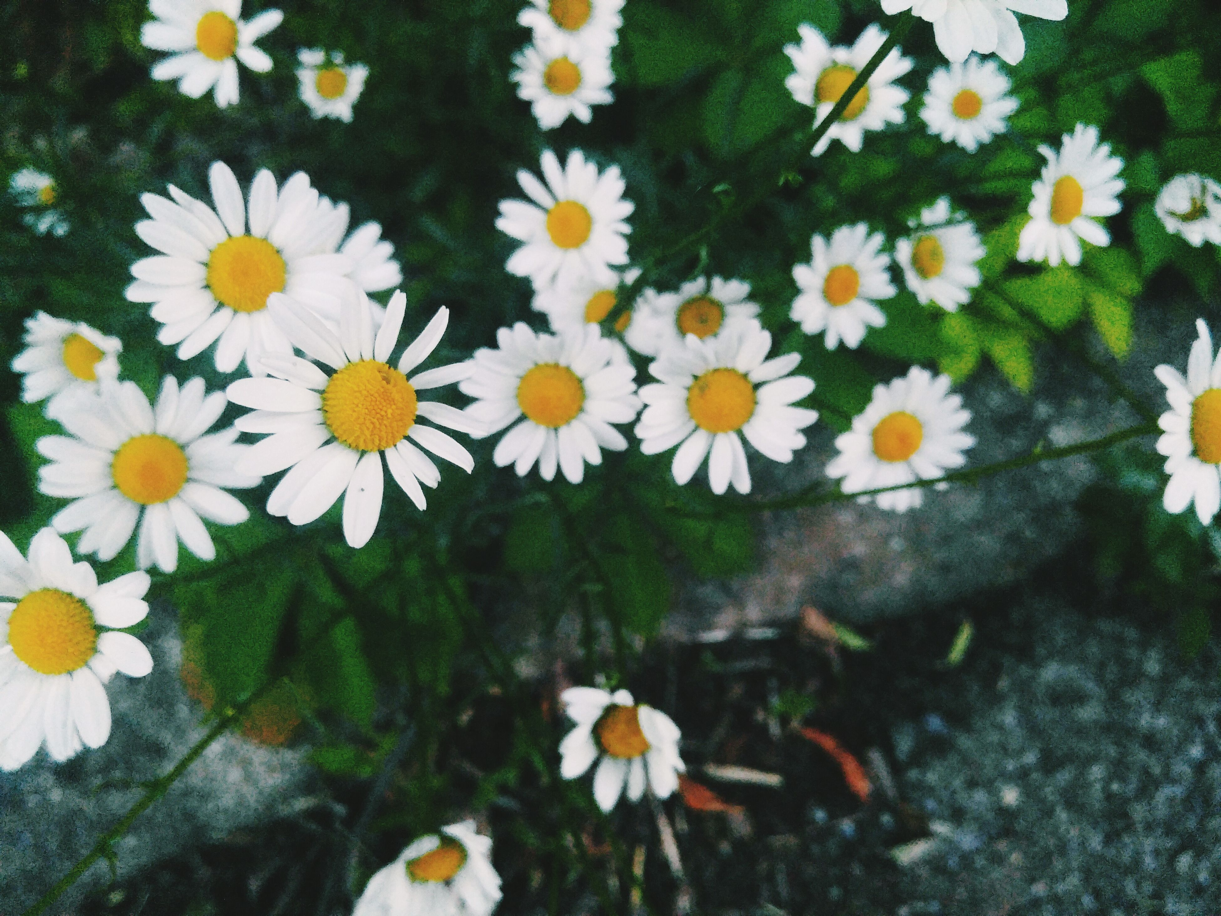 flower, petal, fragility, daisy, freshness, flower head, white color, high angle view, growth, beauty in nature, yellow, blooming, nature, plant, pollen, field, in bloom, close-up, day, outdoors