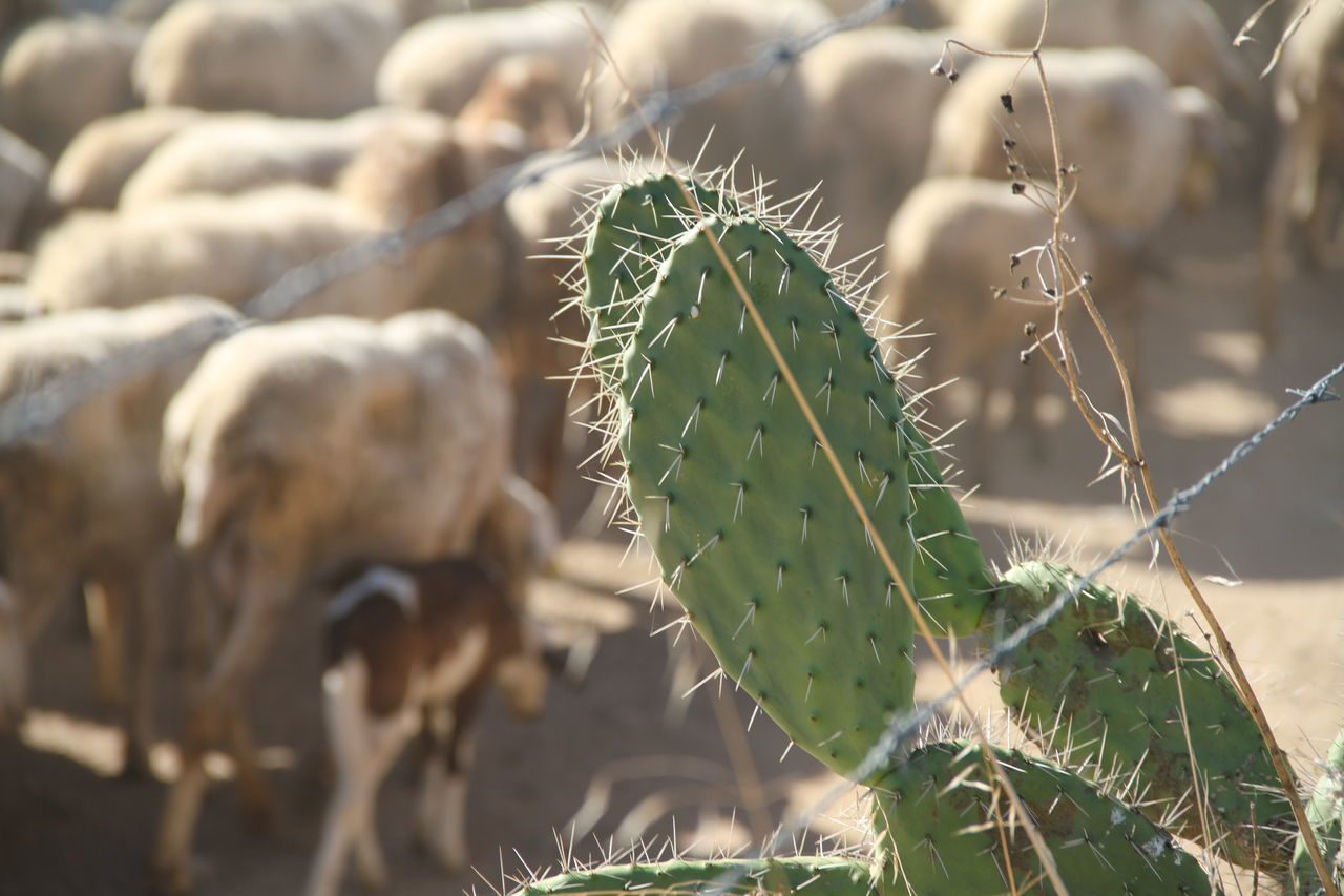 cactus, growth, green color, thorn, nature, focus on foreground, plant, no people, day, outdoors, spiked, prickly pear cactus, spider web, close-up, field, beauty in nature, saguaro cactus, animal themes