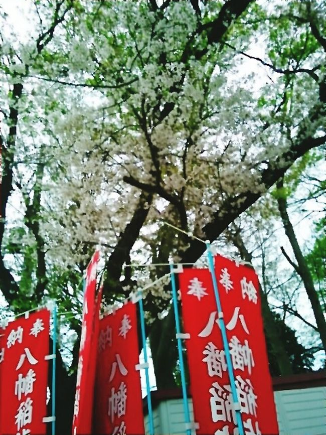 神社の桜です。 Japanese Spring Blossom Cherry Tree Flower Beautiful View Cherry Tree Cherry Blossoms Cherry Blossom Leaf Beautiful Day Jinja Cherry Blossom Viewing