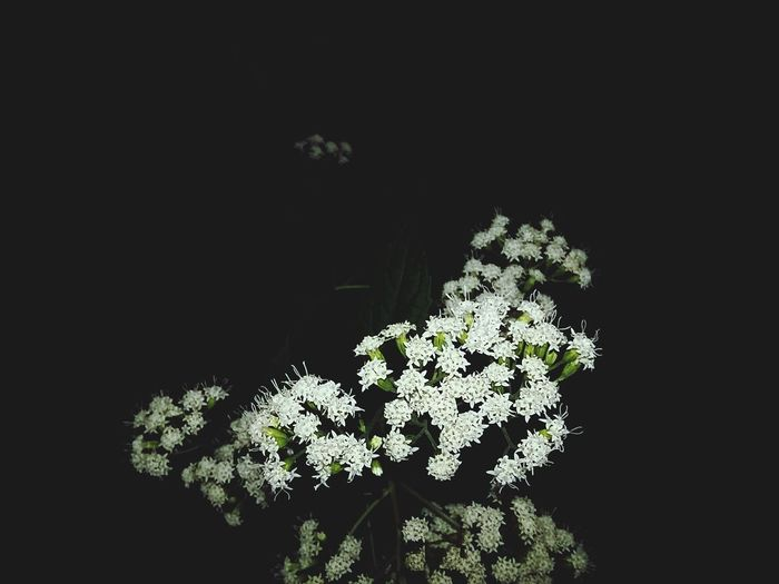 Just a little something Flower Close-up Nature Beauty In Nature Flower Head Blooming No People Black Background First Eyeem Photo