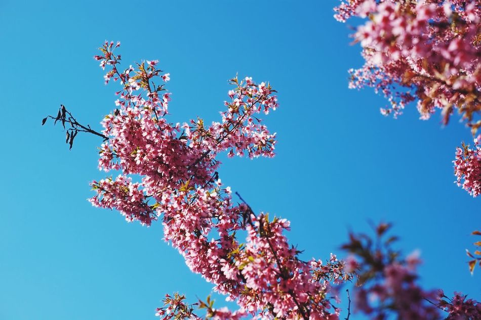 Springtime blossom. Flower Low Angle View Clear Sky Tree Beauty In Nature Growth Nature Day Blossom Fragility Blue No People Springtime Branch Outdoors Freshness Blooming Sky Close-up Flower Head Colors Pink