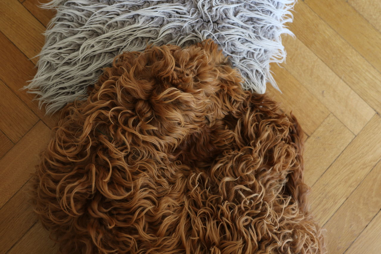 Brown Check This Out Close-up Curled Up Day Dog Furry Hairy  Indoors  Labradoodle No People Peace Pillow Puppy Resting Textured