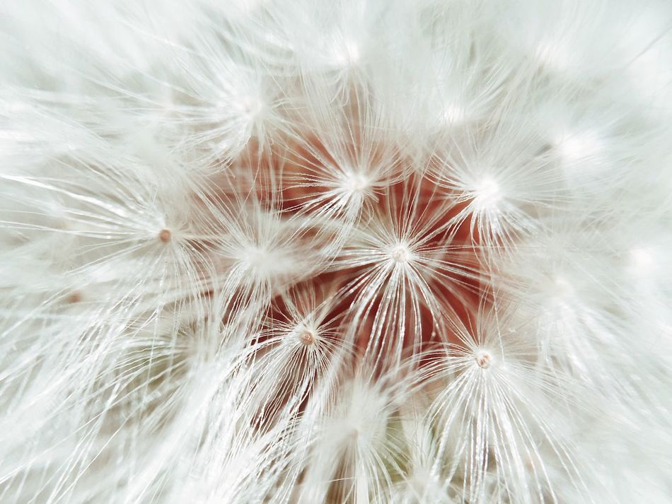 Dandelion Close-up Fragility Flower Dandelion Beauty In Nature Nature Softness White Color Growth Freshness Dandelion Seed Close-up Flower Head No People Outdoors Plant Seed Macro Macro Photography