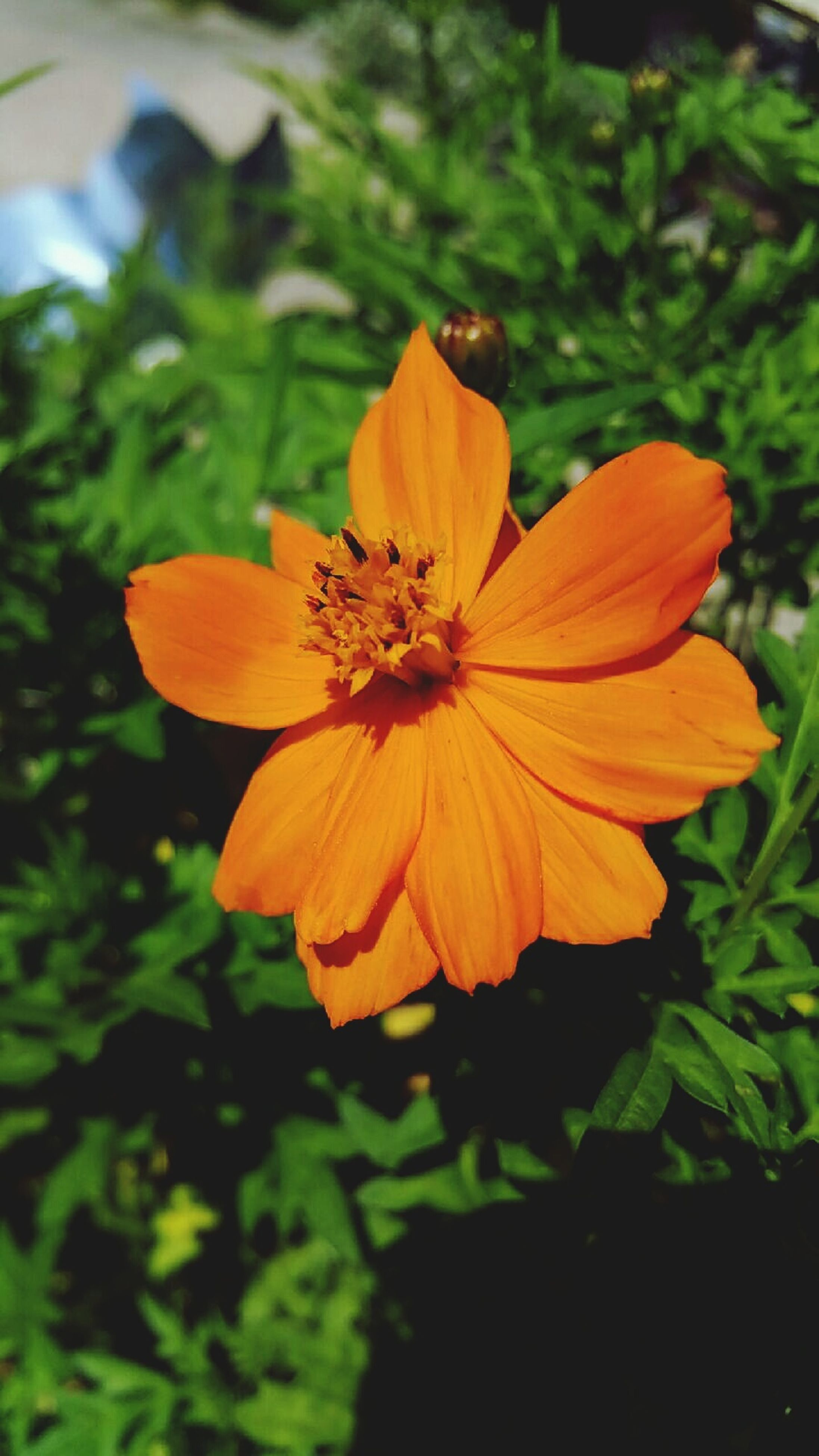 flower, petal, freshness, flower head, fragility, growth, beauty in nature, close-up, orange color, blooming, focus on foreground, pollen, yellow, single flower, nature, plant, stamen, in bloom, park - man made space, blossom