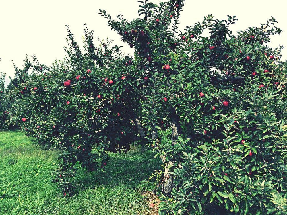 Gone apple Picking Enjoying Life Iphonephotography Taking Photos