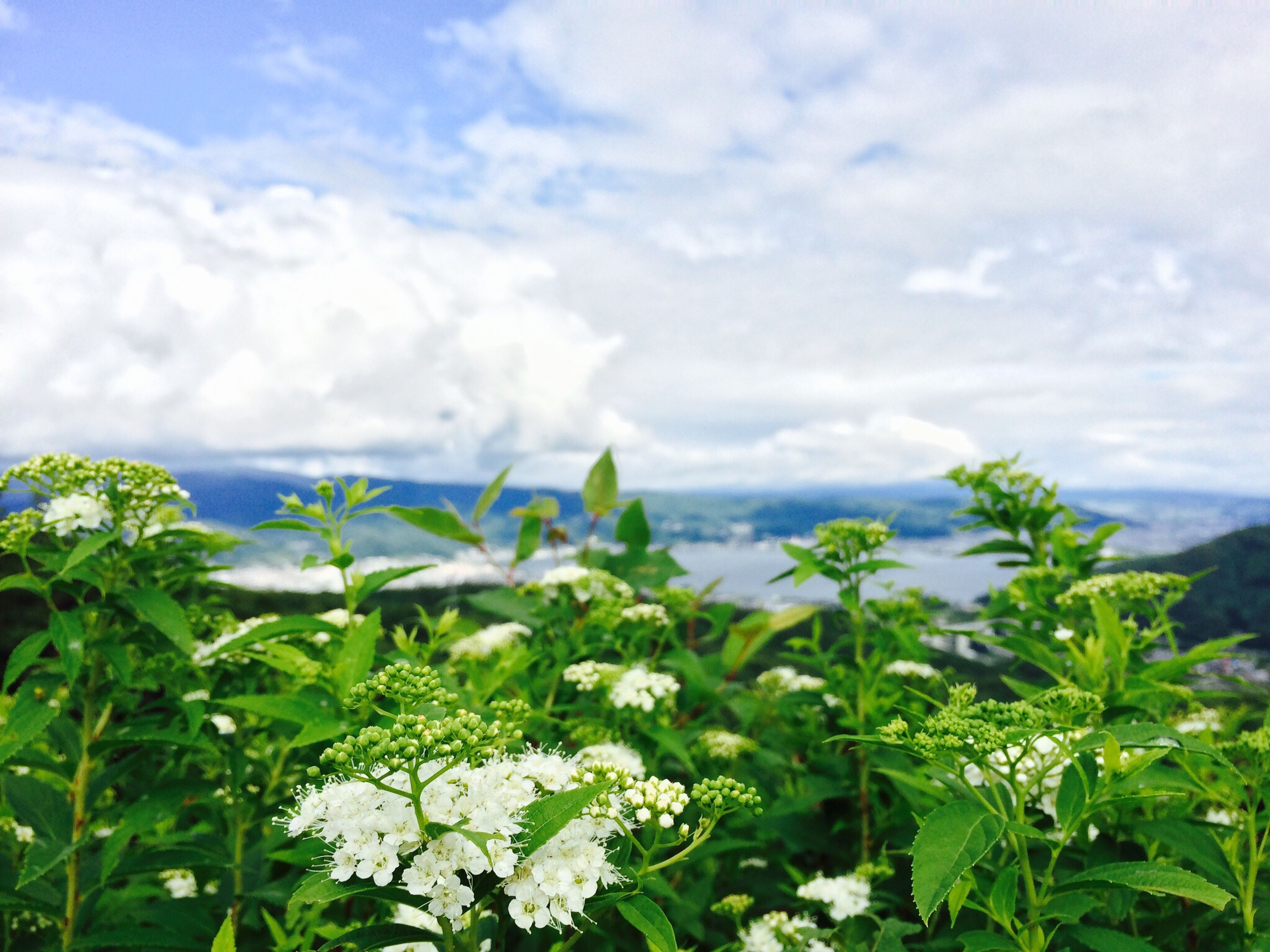 flower, sky, growth, beauty in nature, cloud - sky, plant, freshness, nature, white color, cloudy, fragility, green color, cloud, scenics, tranquil scene, tranquility, blooming, day, outdoors, leaf