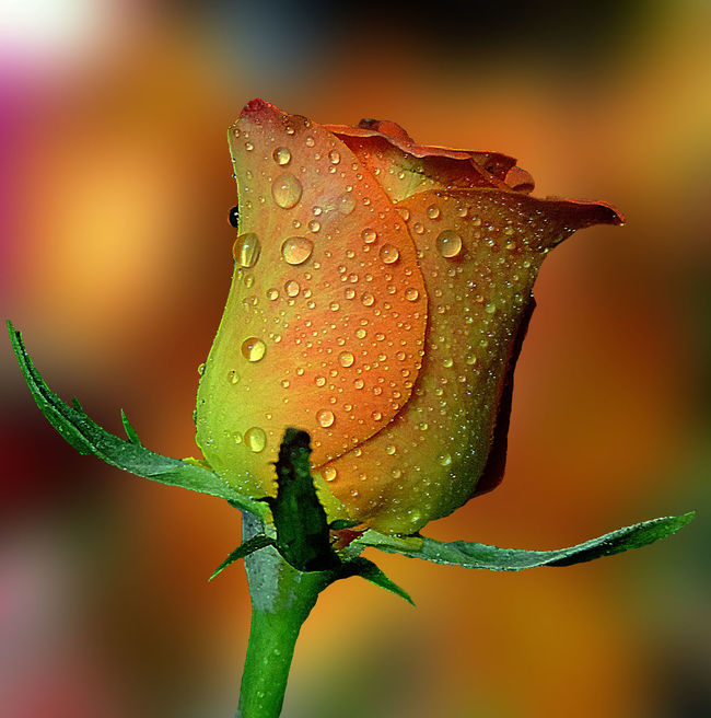 Beauty In Nature Botany Close-up Colour Of Life Focus On Foreground Gentle Rose Nature Plant Rosé