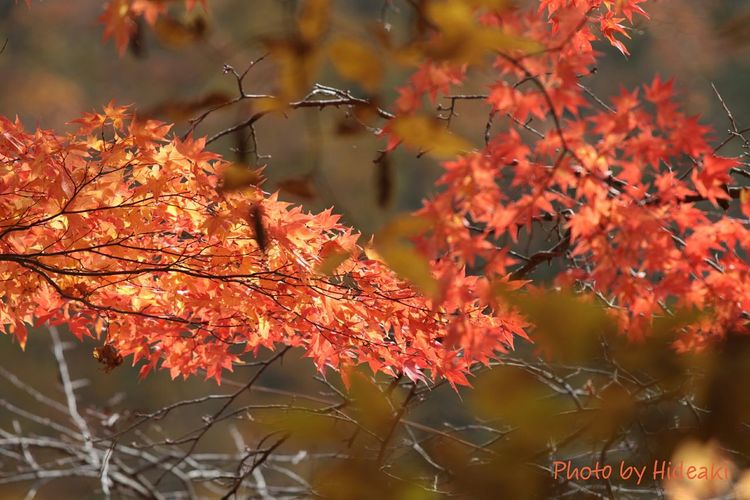 モミジ祭り 滝の上公園 もみじ 紅葉🍁