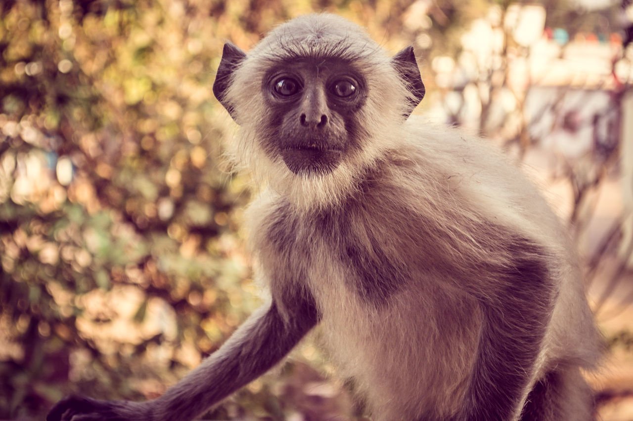 one animal, animals in the wild, primate, animal themes, animal wildlife, mammal, monkey, portrait, focus on foreground, lemur, outdoors, looking at camera, nature, day, no people, tree, close-up