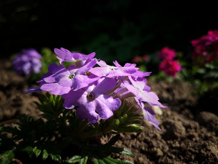 EyeEm Selects Flower Nature Plant Purple Pink Color No People Beauty In Nature Fragility EyeEmBestPics EyeEm Best Shots Canon EOS 70D No Edit/no Filter Just Me And My Camera