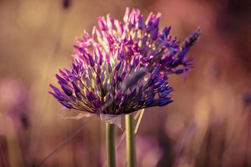 EyeEm Selects Flower Nature Purple Growth Plant Beauty In Nature Flower Head Freshness Focus On Foreground Close-up Thistle EyeEm Masterclass EyeEm Best Shots Macro