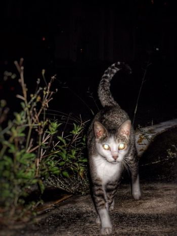 Hey kitty kitty... Domestic Cat Feline Cat Domestic Animals Pets Mammal Animal Themes One Animal Portrait Looking At Camera No People Outdoors Night Cat Lovers Cat Walking Street Wild Wild Cat Cat Eyes