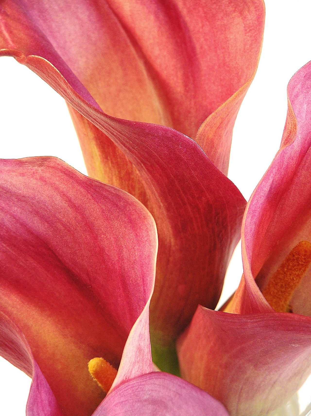 Flower Close-up Beauty In Nature Extreme Close-up Macro Flower Head Lilies Calla Lily Zantedeschia Pink Flower Pink Petal Nature In Bloom Detail Studio Shot