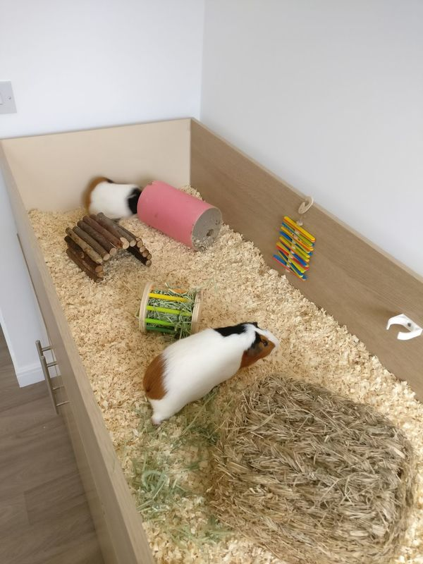 EyeEm Selects Domestic Animals Mammal Guineapigs DIY Domestic Life No People