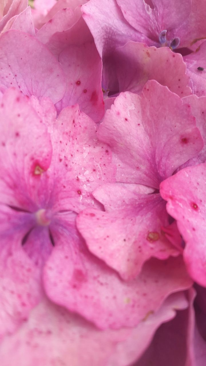 pink color, petal, close-up, flower, full frame, fragility, nature, backgrounds, no people, beauty in nature, outdoors, day, plant, growth, flower head, freshness