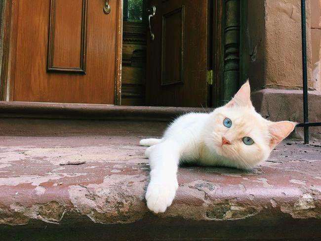 Kitten Brooklyn Stoop Brooklyn