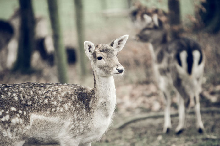 Wildpark Damwild EyeEm Best Shots EyeEm Nature Lover Animal Themes Animal Wildlife Animals In The Wild Close-up Day Dear Domestic Animals Field Focus On Foreground Grafenberger Wald Looking At Camera Mammal Nature No People One Animal Outdoors Portrait
