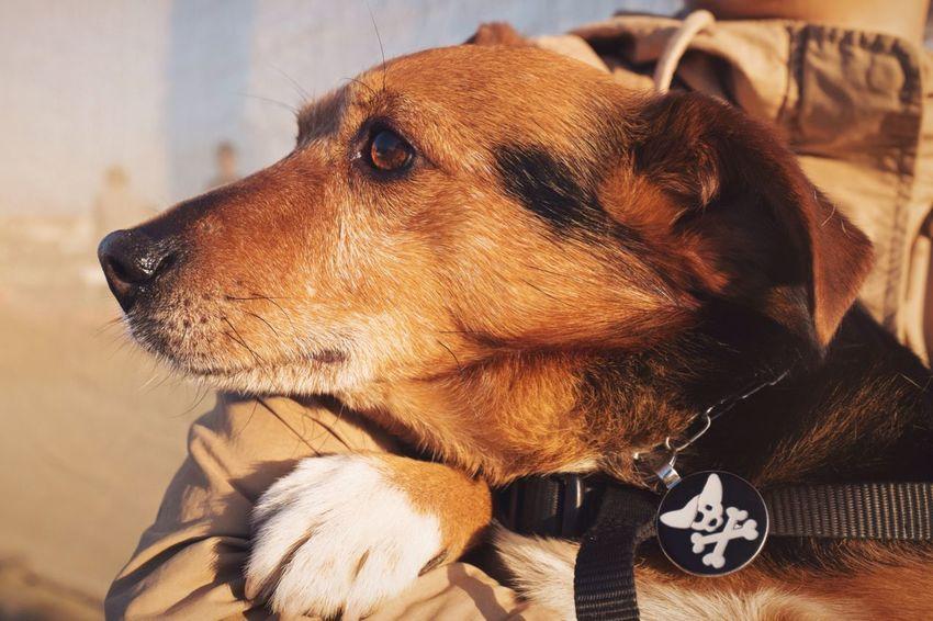 Dago the pirate // Priime Priimephoto FUJIFILM X100S Fuji X100s X100S Dog Puppy I Love My Dog Dogs Dog❤