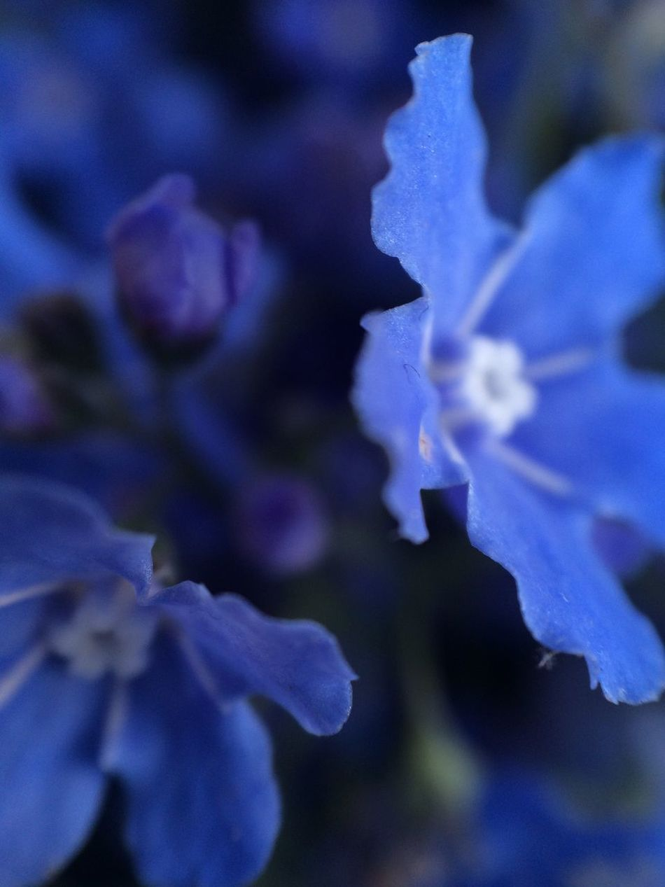 Myosotis Forget Me Not Forget-me-not Shades Of Blue Flower Fragility Beauty In Nature Nature Petal Growth Close-up Selective Focus Flower Head No People Plant Freshness Blue The Purist (no Edit, No Filter) Springtime Day Blooming Macro Macroclique Macro_collection Macro Beauty