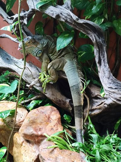 Iguana Green Green Green!  Check This Out Colourful Nature Taking Photos Cute Animals Pet found it hiding beside the koi pond Mobile Photography