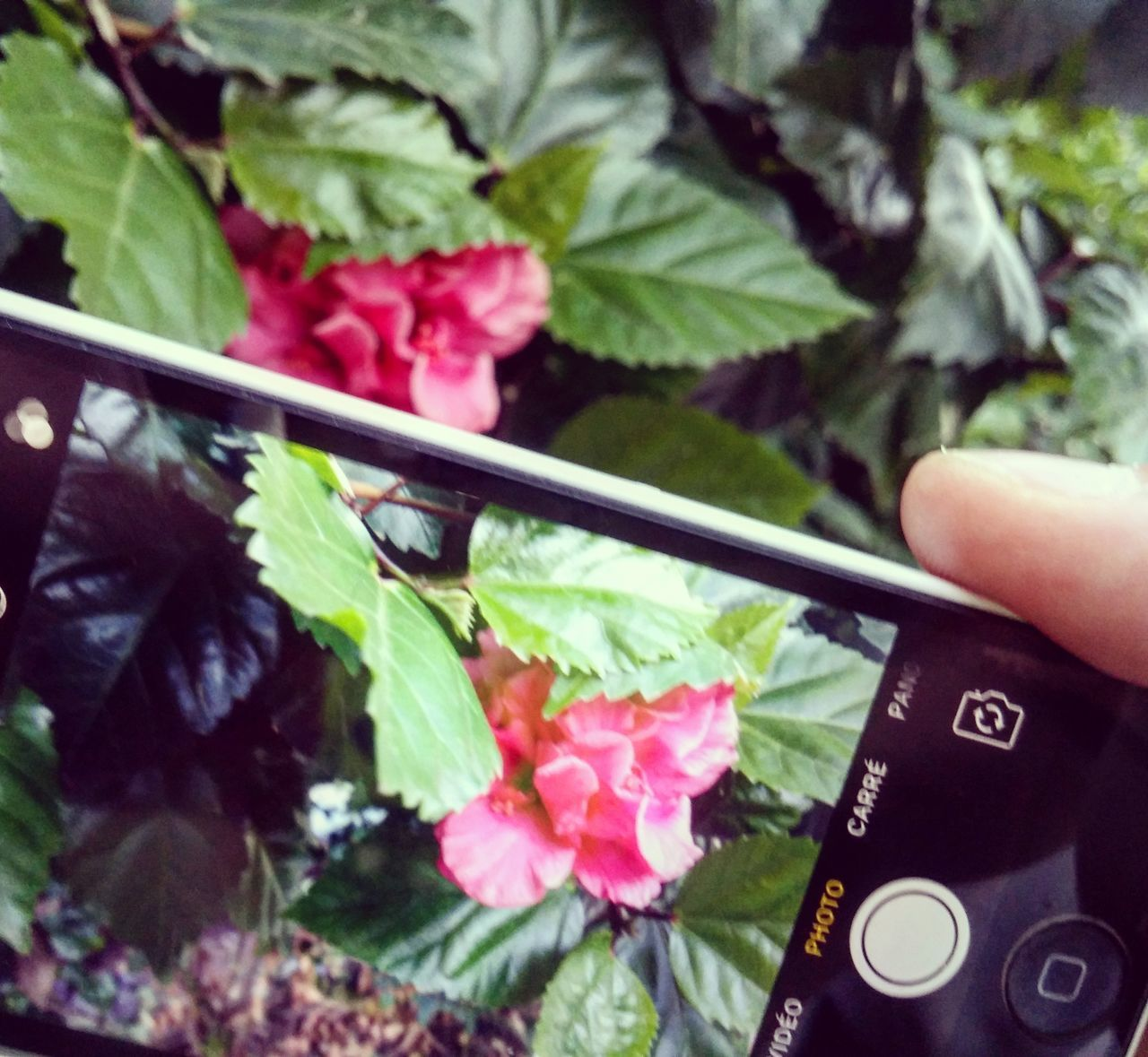 Human Hand Flower Human Body Part One Person Holding Leaf Close-up Growth Freshness Real People Day Fragility Flower Head Beauty In Nature LGG3 PhonePhotography LGg3photography Nature Indoors  People