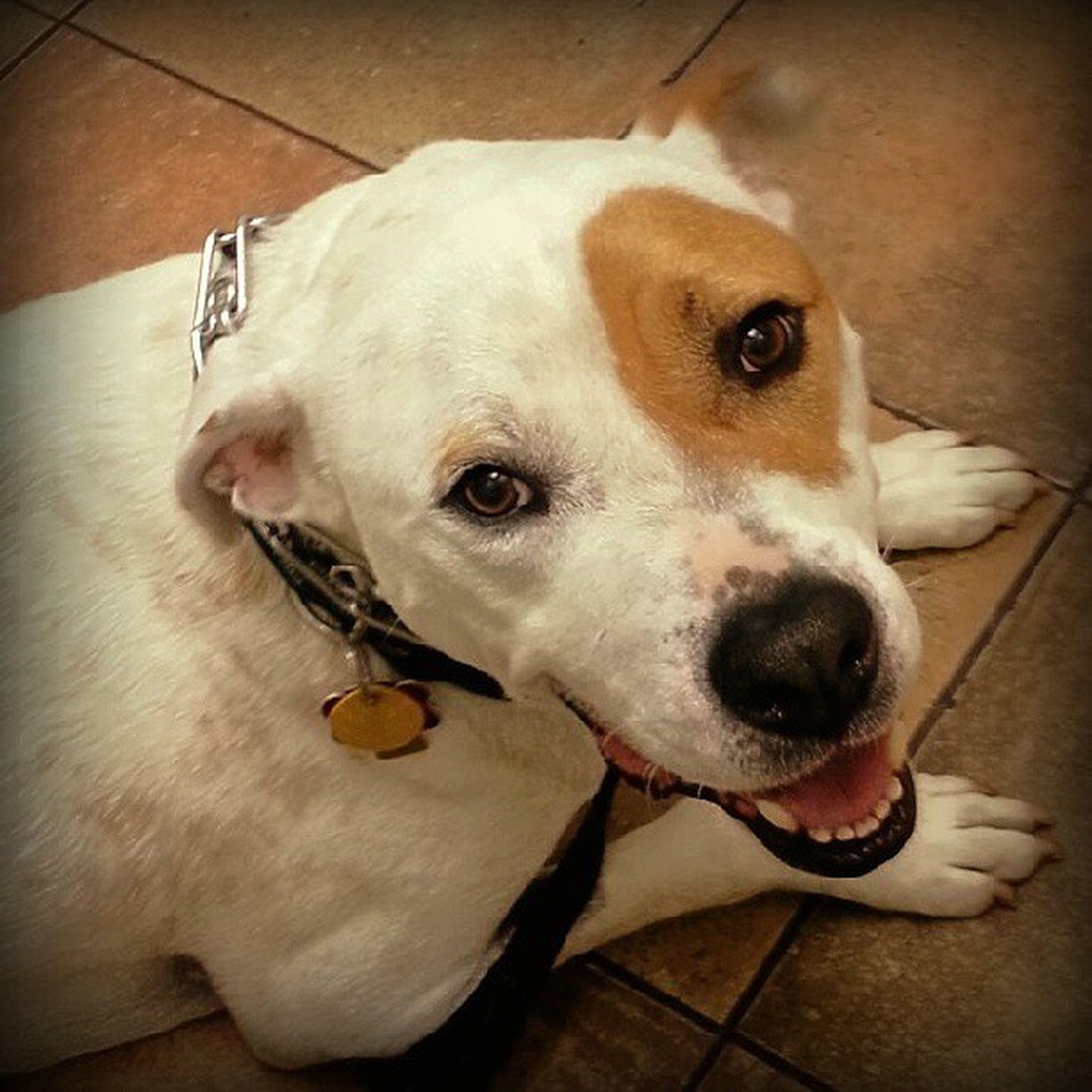 Momma's handsome boy at his checkup Shockey Pittiesmile Lovemydog Pitbullmomma
