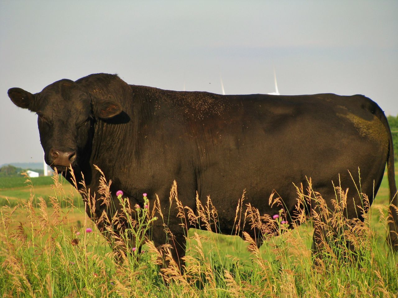 Big Bull Agriculture Animal Beef Black Black Angus Bull Canonphotography Cattle Grass Livestock Pasture