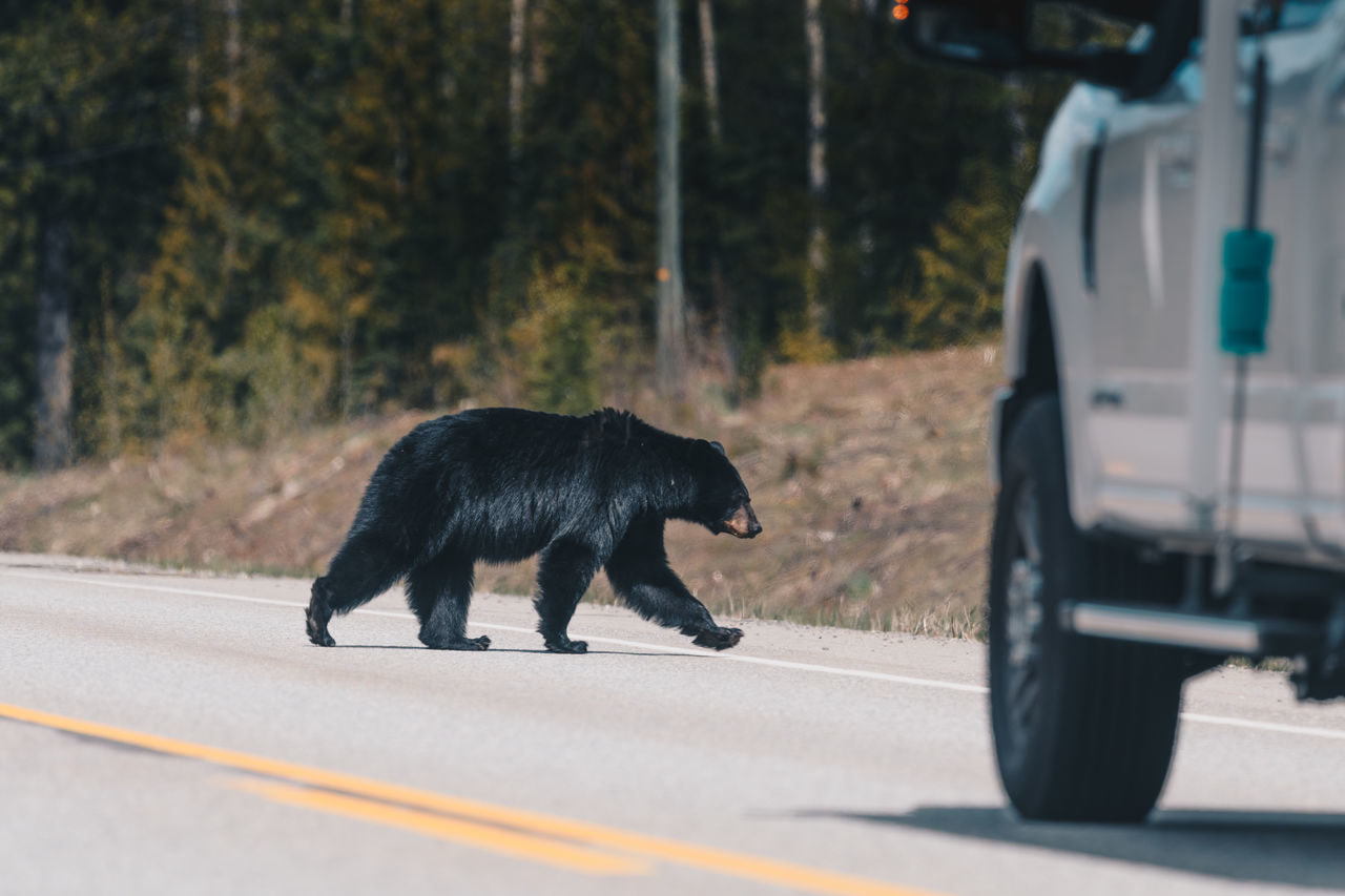 Wildlife bear crossing road in front of vehicle Animal Themes Animals In The Wild Bear Black Bear Black Color Car Caution Collision Course Crossing Road Day Land Vehicle Mammal Mode Of Transport Nature One Animal Outdoors Road Road Safety Roadkill Street Transportation Wildlife Wildlife Corridor Wildlife Crossing Wildlife Encounter