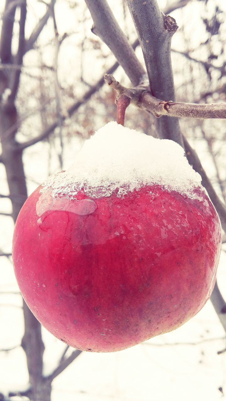 fruit, cold temperature, red, winter, snow, tree, food and drink, nature, outdoors, day, close-up, beauty in nature, no people, branch, weather, freshness, rose hip, frozen, focus on foreground, food, hanging, growth