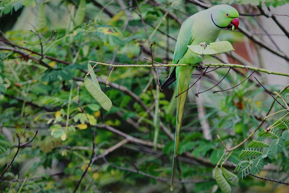 Rose Ringed Parakeet photographed near my house. Beauty In Nature Green Nature Outdoors Parakeet Rose Ringed Parakeets