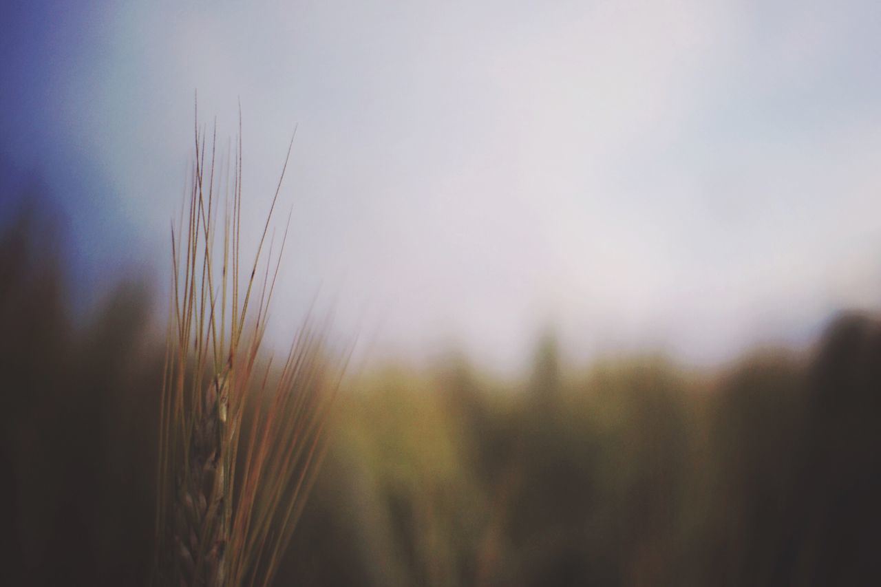 Growth Plant Nature Close-up Field No People Agriculture Focus On Foreground Beauty In Nature Wheat Outdoors Day Rural Scene Ear Of Wheat Cereal Plant Sky Freshness EyeEm Nature Lover