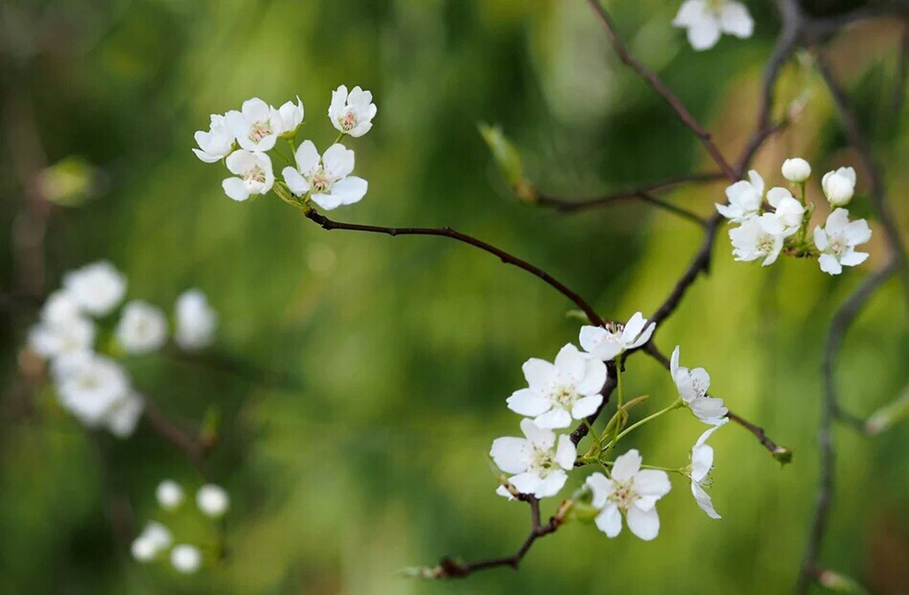 Growth White Color Flower Beauty In Nature Fragility Nature Petal Freshness Close-up Twig Focus On Foreground Tree Flower Head Branch No People Blooming Outdoors Day Plum Blossom