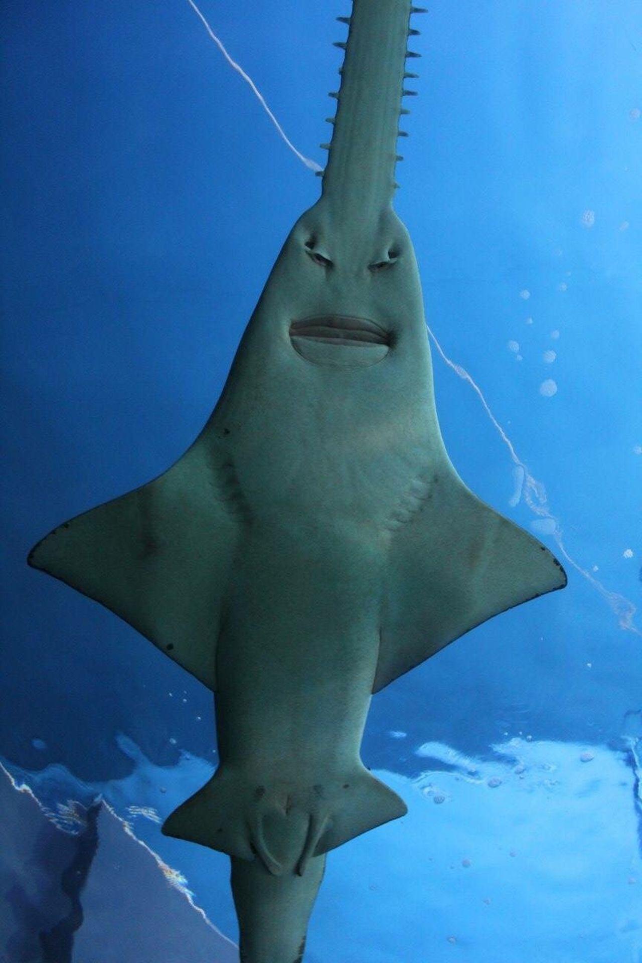 Sawfish Shark at the aquarium in Sydney, Australia Blue Underwater Animal Themes Nature One Animal Shark Sawfish Sea Life UnderSea