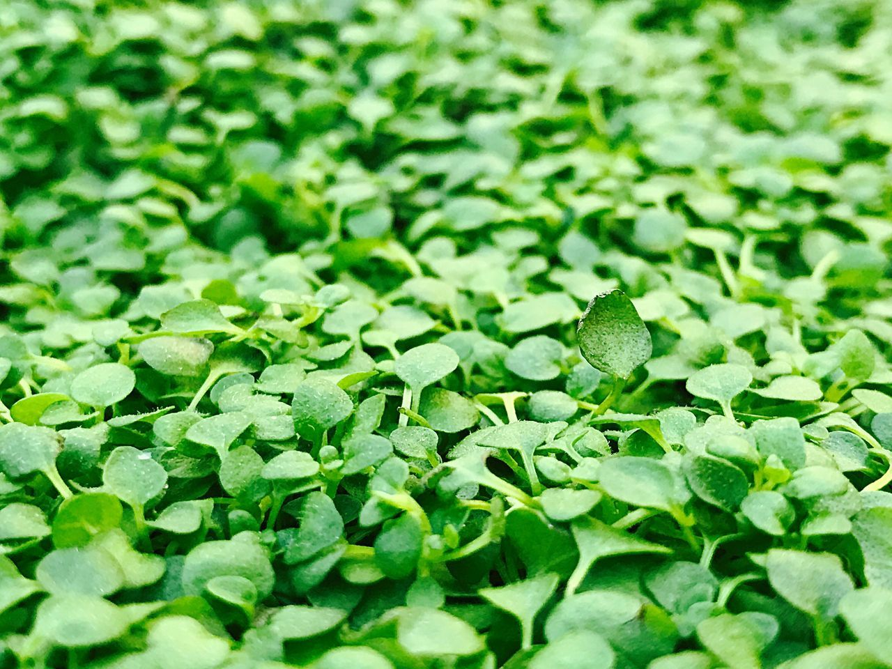 green color, leaf, selective focus, close-up, freshness, nature, no people, backgrounds, full frame, plant, growth, food, beauty in nature, day, fragility, outdoors