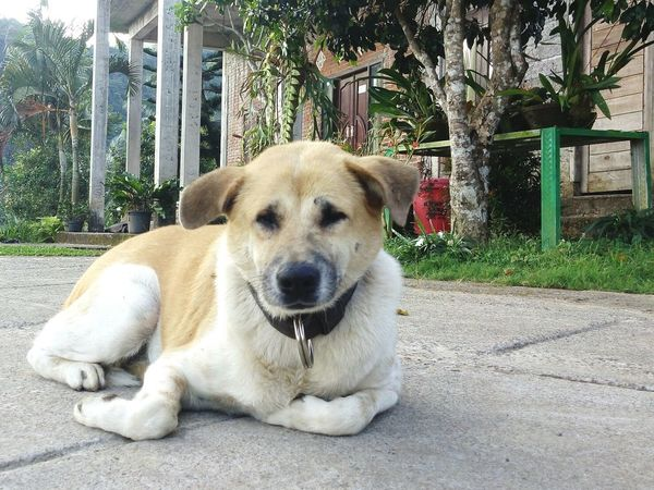 Balinesedog Cutedog Stand Alone Focus Happiness Brown Laughing . Closeupshot Dogs Of EyeEm Dogsareawesome Dogstyle Doglover Dogsmiles