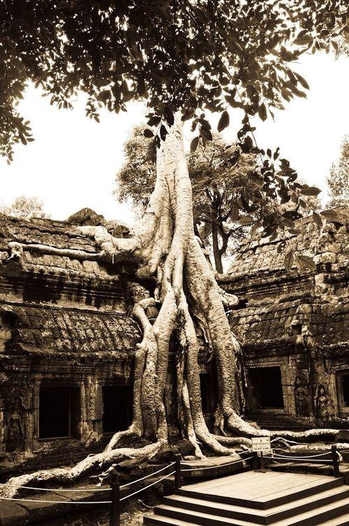 Gigantic Tree cover Ta Prohm in Cambodia Monochrome