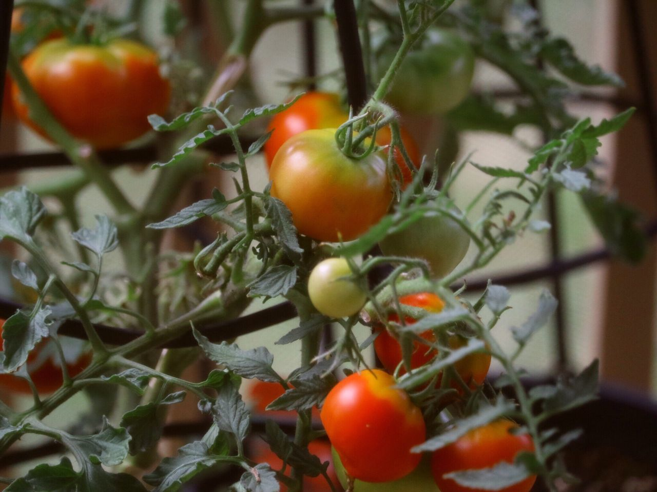 Colour Of Life Fruit Summertime Blossoming  Crop  Red Green Leaves. Delicious In The Garden Ready-to-eat Ready To Pick Ripe Fresh Tomatoes