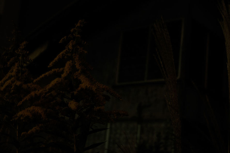 Fujifilm Fujifilm X-E2 Fujifilm_xseries Goldenrod Night Nightphotography Nightshot Noflash Silvergrass すすき すすき セイタカアワダチソウ セイタカアワダチソウ