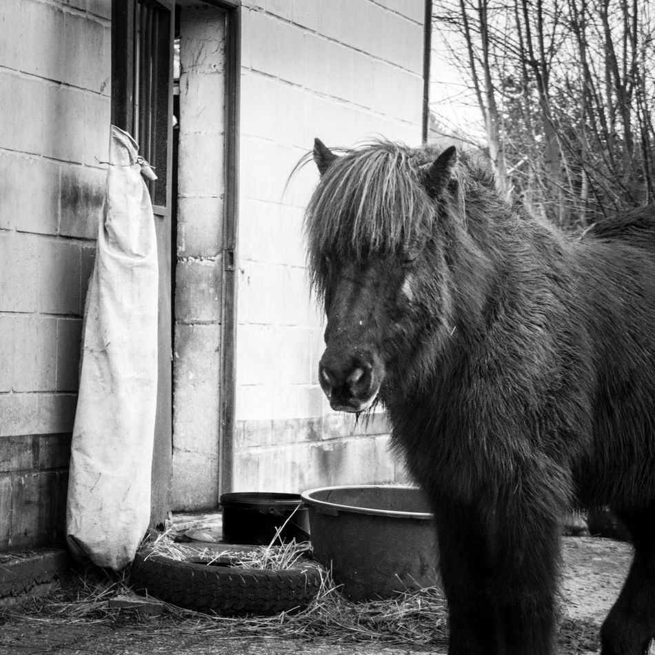 Schnappschuss vom Ponyhof Animal Themes Day Domestic Animals Farm Life Horse Icelandic Horse Mammal No People One Animal Outdoors Pony Tail  Winter