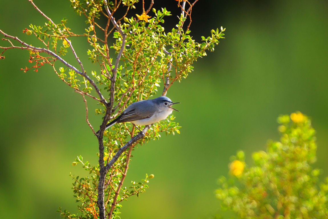 Blue Gray Gnatcatcher Animal Themes Birdwatching Animal Wildlife Songbird  Animals In The Wild Animals Outdoors Beauty In Nature Birds Gnatcatcher Bluegraygnatcatcher Nature