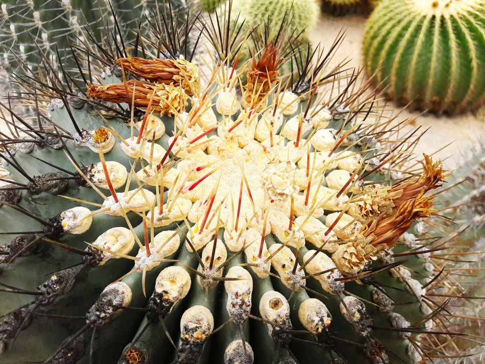 Maximum Closeness Focus Object Focus On Foreground Thailand Pattaya Beauty In Nature Nature Cactus Art EyeEm Gallery Nature Cactus Of Thailand Beauty In Nature Cactus Garden Cactuscollection