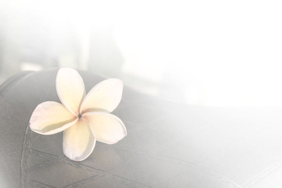 Beauty In Nature Close-up Day Flower Flower Head Fragility Frangipani Freshness Indoors  Nature No People Periwinkle Petal White Color