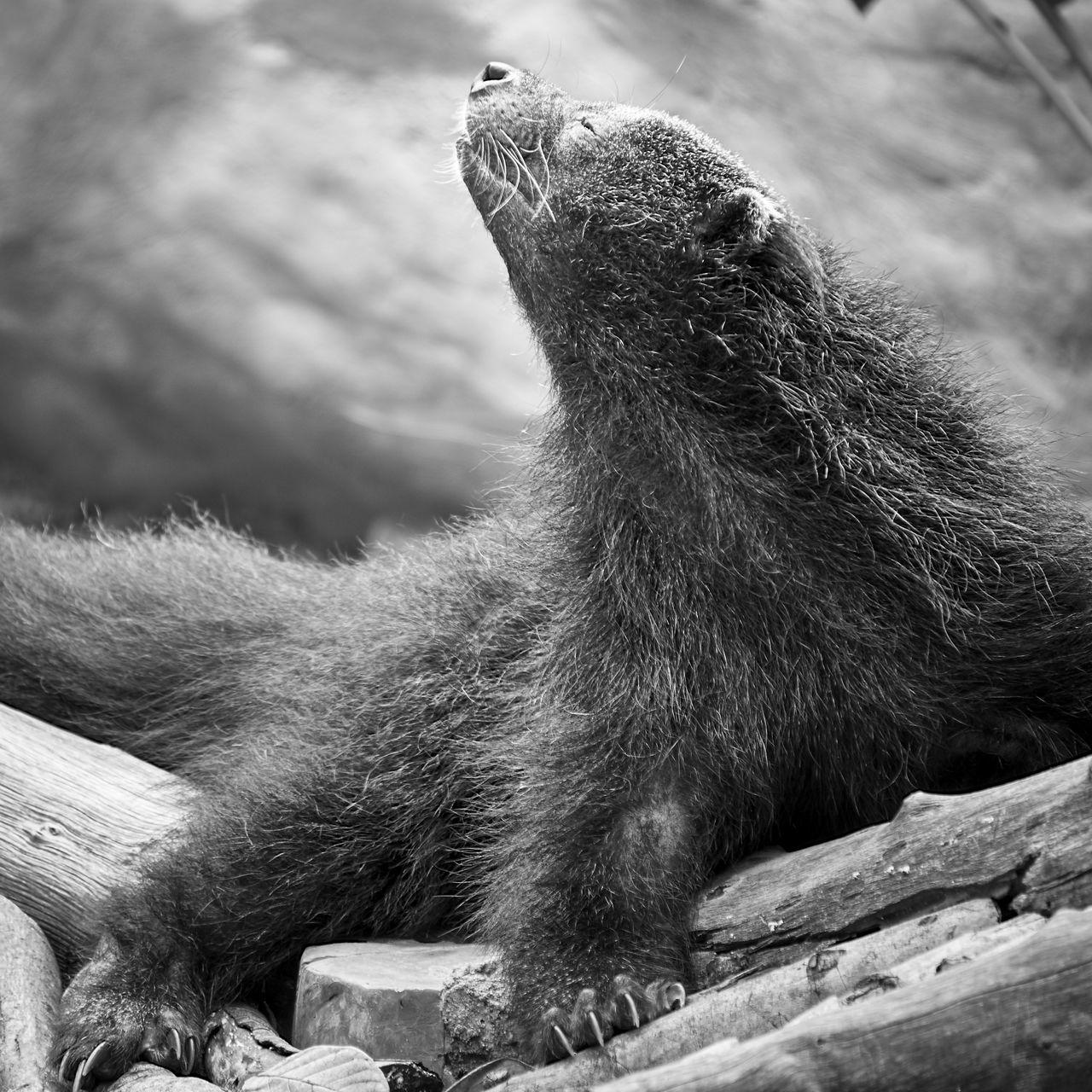 Animals Arctictis Binturong Asian Bearcat Bearcat Binturong Bw Malay Civet Cat Wildlife