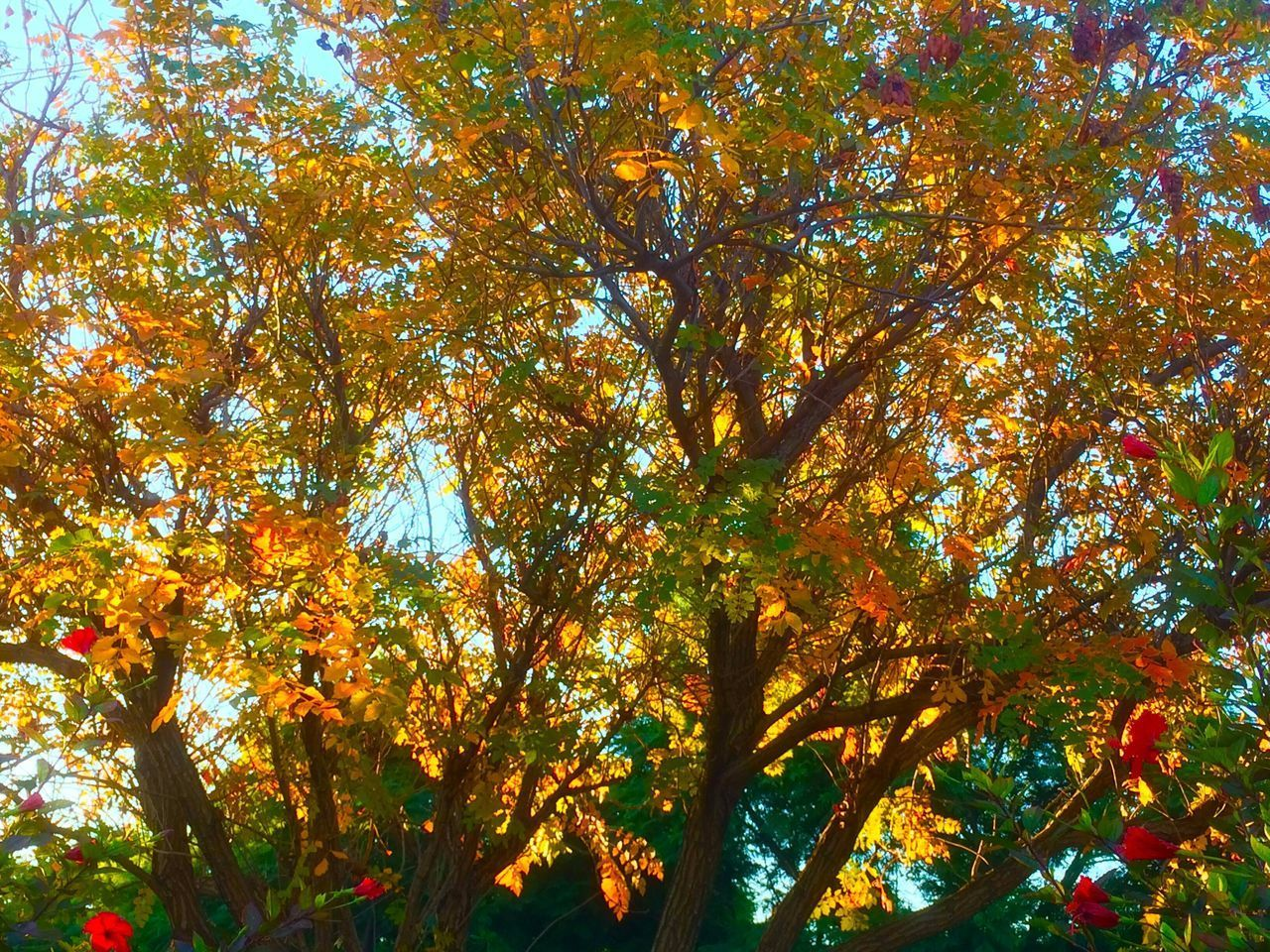 Tree Autumn Leaf Change Nature Beauty In Nature Growth Low Angle View Maple Tree Branch Outdoors Day Tranquility No People Scenics Sky