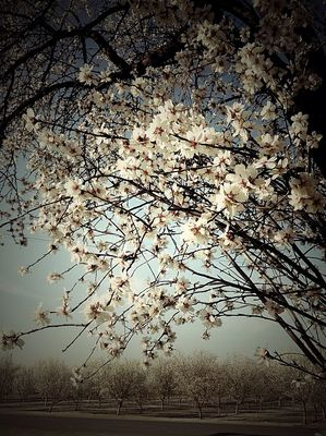 Cherry blossoms by Riley Gruenthal
