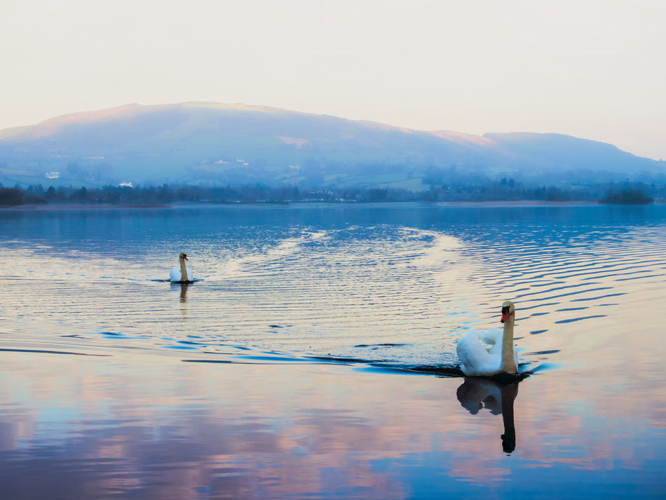 Swans Lough Derg Ireland Lake Bird Water Nature Reflection Animal Wildlife Sky Outdoors Animal Themes Beauty In Nature Landscape Landscapes Tranquility Lough Multi Colored Lightroom & Nik Colourful
